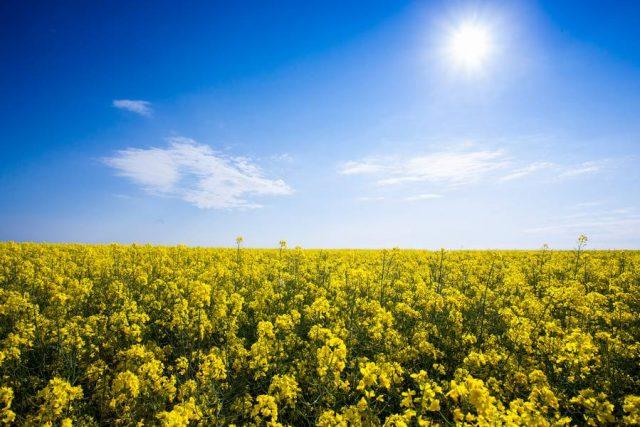 Die Rohstoffe für Biokraftstoffe in Deutschland stammen überwiegend von einheimischen Rapsfeldern und Reststoffen wie Frittierölen aus der Gastronomie.