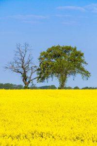 Landwirtschaftliche Flächen sinnvoll nutzen: Aus Raps entsteht Biokraftstoff und hochwertiges, eiweißreiches Tierfutter.