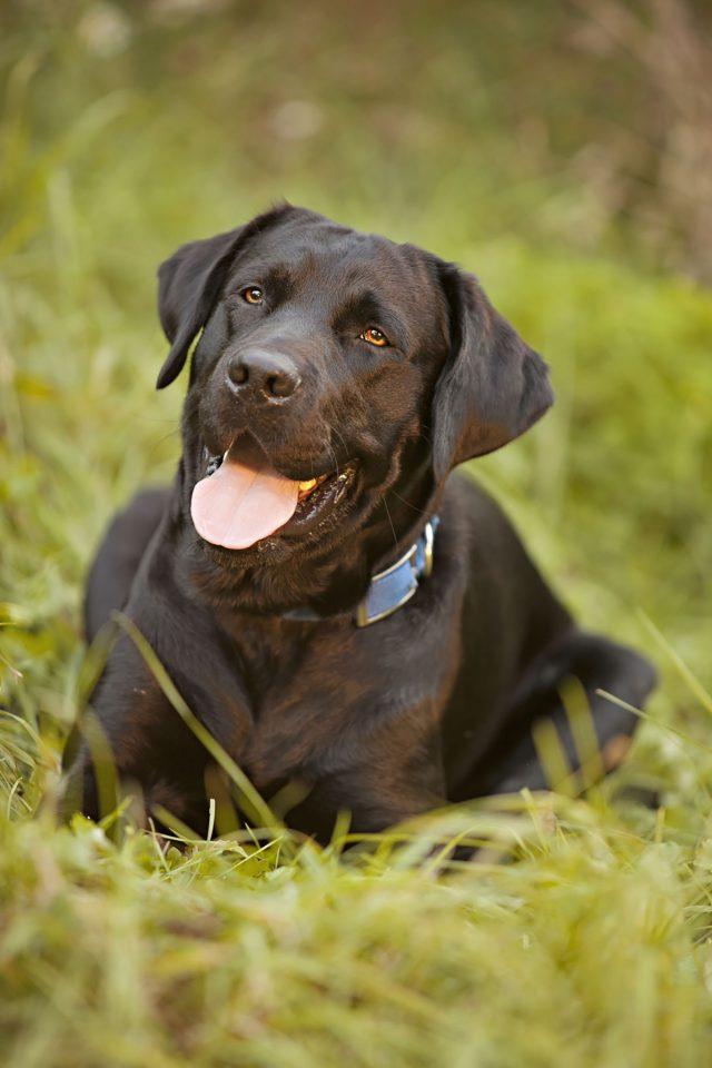 Besonders für aktive Familien mit Kindern der passende Partner: der Labrador.
