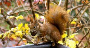 Eichhörnchen Horst