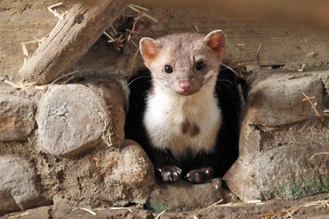 Der Steinmarder ist ein faszinierendes Wildtier, das als Kulturfolger selbst in Großstädten anzutreffen ist.