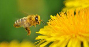 Jeder Garten- oder Balkonbesitzer kann helfen, wieder mehr Nahrungsquellen für Bienen & Co. zu schaffen.