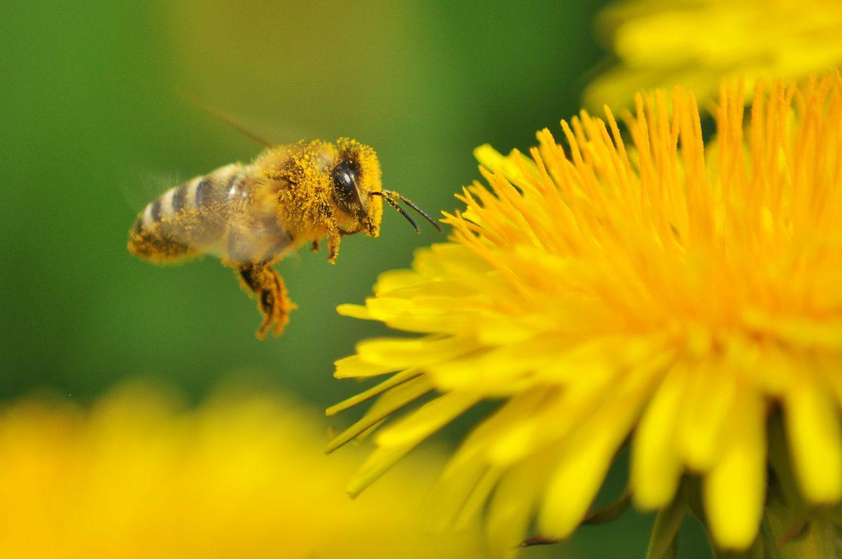 Biene sucht Blüte - MAINLIKE®