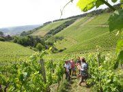 Bei einer Weinbergsführung lernen die Besucher Interessantes über den Weinbau.