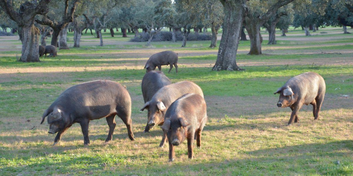 Iberico Schweine