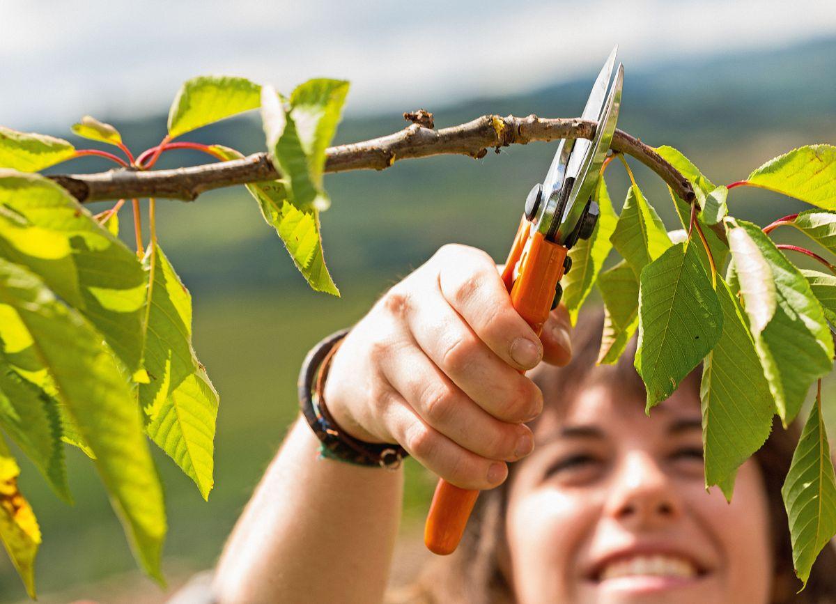 Kleineren Ästen lässt sich mit einer Gartenschere zu Leibe rücken.