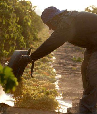 Rosine: In Kalifornien wird die Rosine mit viel Geduld allein durch die Sonne getrocknet - das wirkt sich positiv auf die Qualität aus. Foto: djd/Raisin Administrative Committee/Keith Seaman/Camerad Inc