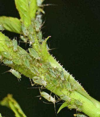 Schädlingsbekämpfung: Blattläuse reisen oft huckepack ins Winterquartier - gegen sie kann man biologisch mit Nützlingen vorgehen. Foto: djd/www.re-natur.de/Helge Arp
