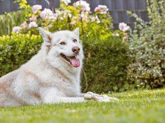 Hundesicher: Besonders Hunde mit dichtem Fell freuen sich über einen kühlen, schattigen Ruheplatz im Garten. Foto: djd/Agila/Sven Brauers