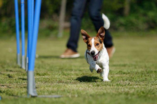 Verstauchung: Beim Herumtollen, Spielen oder bei sportlichen Wettkämpfen können sich Hunde leicht einmal Verletzungen zuziehen.