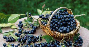 Eigene Ernte: Die Apfelbeere wird wegen ihres hohen Gehaltes an Flavonoiden, Vitaminen und Mineralstoffen in der modernen Küche als Superfood bezeichnet.