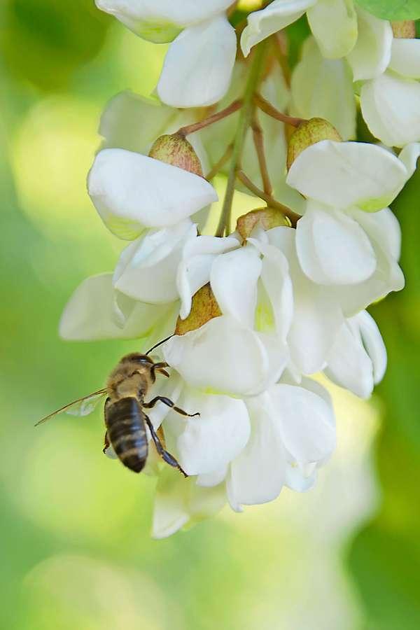 Ein reines Naturprodukt. Die Felder, Wiesen und Wälder, die von den Bienen angeflogen werden, bestimmen Aroma, Farbe und Konsistenz des Honigs.