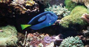 Der Paletten-Doktorfisch kann nur in einem Meerwasseraquarium gehalten werden.