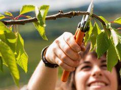 Mit einem Rückschnitt ihrer Obstbäume und Sträucher schaffen Gartenbesitzer im Herbst die Basis für neues Wachstum und eine reiche Ernte in der kommenden Saison.